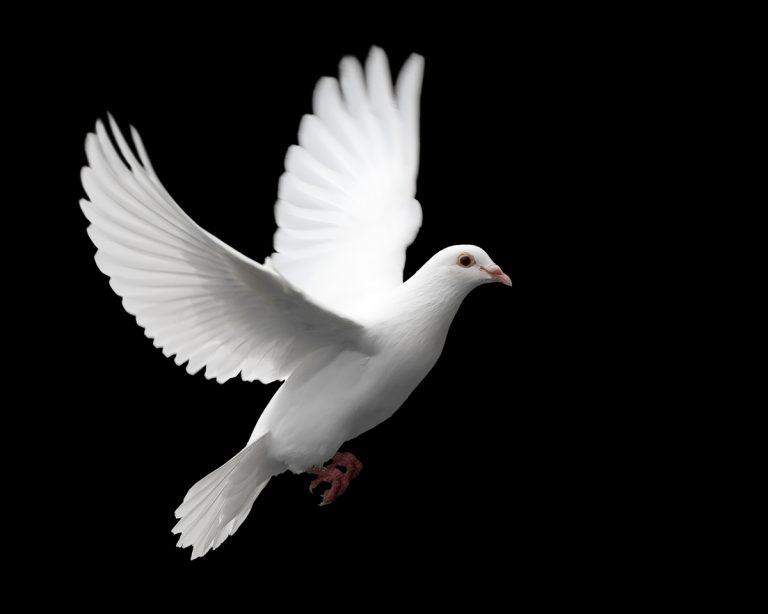 A white dove in flight