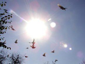 Doves in flight